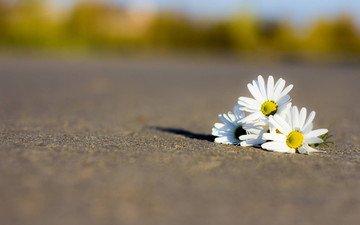 дорога, цветы, лепестки, ромашки, белые