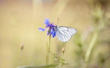 насекомое, цветок, бабочка, василек, lena held