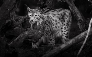 lynx, black and white, wild cat, lena held