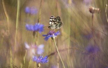 цветы, бабочка, насекомые, васильки, полевые цветы, lena held