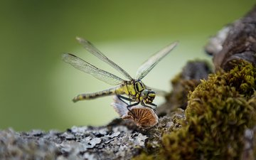 макро, насекомое, крылья, стрекоза, lena held