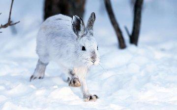 снег, зима, кролик, животное, заяц