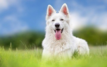 собака, белая, овчарка, швейцарская овчарка, белая .швейцарская овчарка, белая швейцарская овчарка