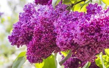 цветы, цветение, весна, сирень