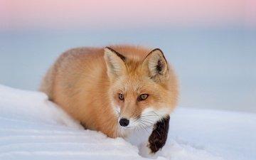 глаза, снег, зима, взгляд, лиса, лисица