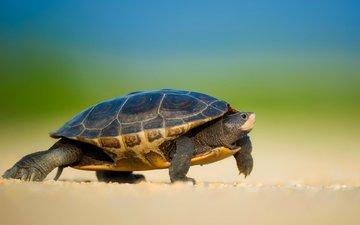 черепаха, прогулка, черепашка, морская черепаха, боке, земноводные, ray hennessy