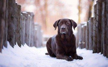 winter, look, dog, labrador, retriever