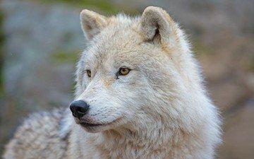 морда, взгляд, хищник, волк, арктический волк