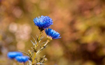 цветы, синие, васильки