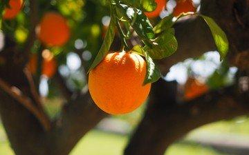 природа, дерево, фрукты, апельсины