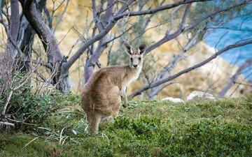 трава, дерево, животное, австралия, кенгуру