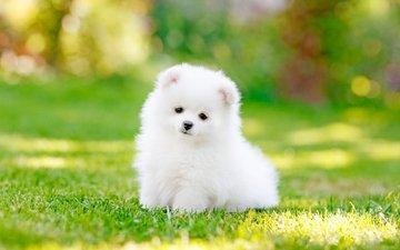 трава, собака, щенок, шпиц