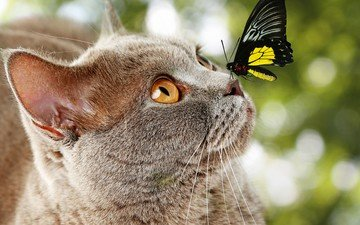 eyes, insect, background, muzzle, mustache, cat, look, butterfly, wings