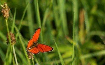 трава, макро, насекомое, бабочка, крылья