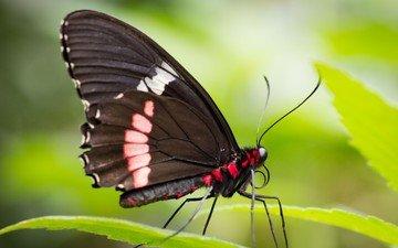 листья, макро, насекомое, бабочка, крылья