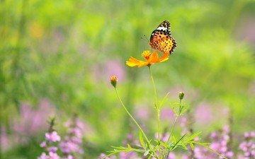 цветы, макро, насекомое, бабочка, крылья
