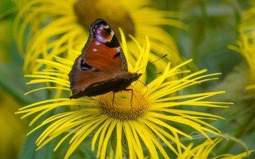 цветы, макро, насекомое, бабочка, крылья, павлиний глаз