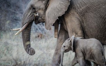 слон, прогулка, слоны, хобот, детеныш, слоненок, бивни