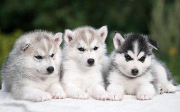 хаски, щенки, собаки, сибирский хаски