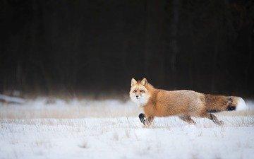 снег, зима, взгляд, лиса, лисица, хвост