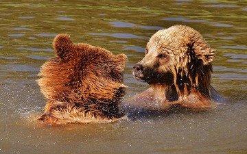 игра, медведи, бурый медведь, в воде
