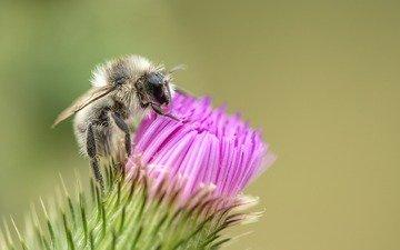 макро, насекомое, цветок, пчела, чертополох