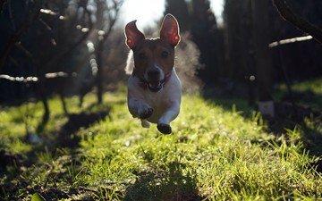 grass, look, dog, jump, running, jack russell terrier