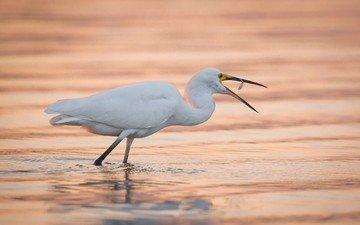 water, bird, beak, heron, white egret