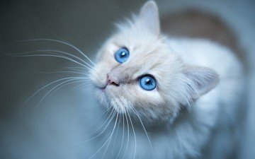 eyes, background, mustache, cat, look, kitty, blue eyes