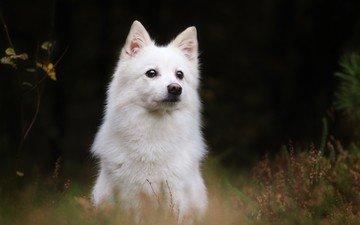 собака, белая швейцарская овчарка, швейцарская белая овчарка, белая швейцарская