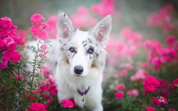 eyes, flowers, look, dog, collar, julia poker