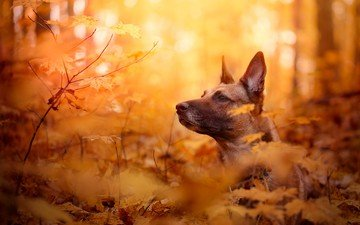 face, leaves, branches, autumn, dog, malinois, belgian shepherd