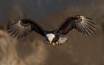 полет, крылья, птица, клюв, белоголовый орлан