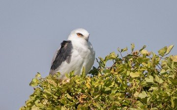 tree, leaves, bird, kite, white-tailed kite