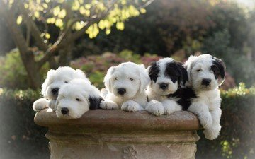 puppies, dogs, bobtail, the old english sheepdog
