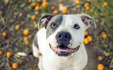 eyes, look, dog, pit bull