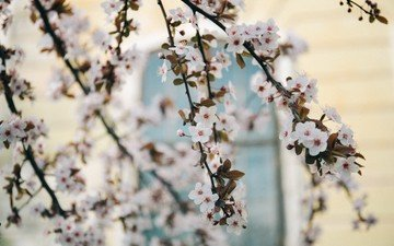 tree, flowering, branches, spring