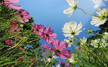 небо, цветы, трава, зелень, макро, фон, поле, лепестки, розовые, белые, зеленая, космея