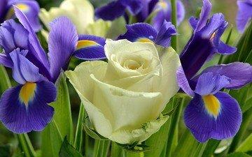 цветы, розы, букет, ирисы