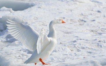 снег, зима, крылья, птица, гусь