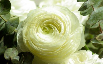 цветок, лепестки, бутон, ранункулюс, лютик