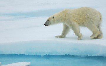 полярный медведь, медведь, антарктида, белый медведь, льдина