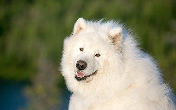 eyes, look, dog, samoyed