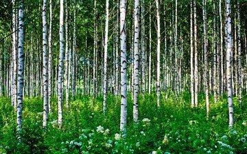 цветы, трава, деревья, лес, березы, лето