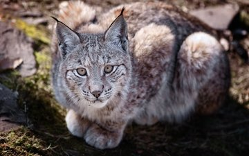 lynx, lies, predator, wild cat