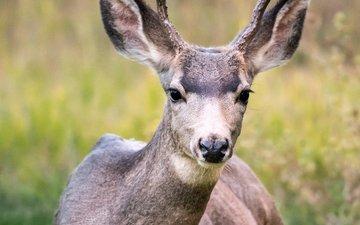 олень, поле, животное, рога, дикая природа, белохвостый олень, кабарга