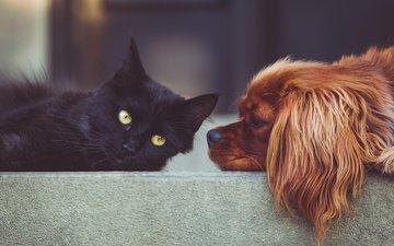 животные, кошка, собака, друзья, черный кот, спаниель