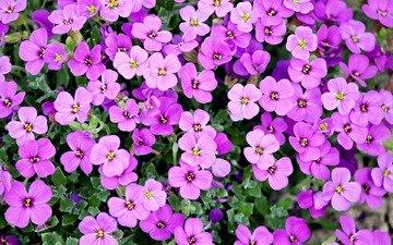цветы, растения, лепестки, ковер, обриета, aubrieta