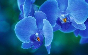 цветы, лепестки, орхидея