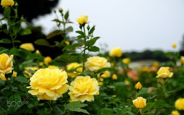 flowers, buds, leaves, roses, petals, yellow